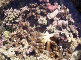 【写真右】引き潮で岩場に取り残されたサンゴ(水族館みたいできれい)