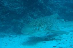 【写真右】トラフザメよ、食べないで(ウソです。ホントはおとなしいサメなんです)