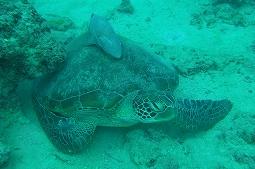 【写真右】アオウミガメの上に何かいます。コバンザメが張り付いてました
