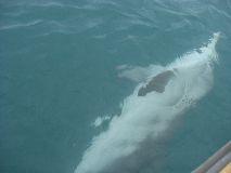 【写真右】水中にイルカが!!ボートと一緒に泳いでくれました。