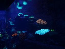 【写真右】水族館の光る珊瑚