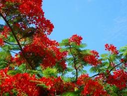 咲き乱れるブーゲンビリア
