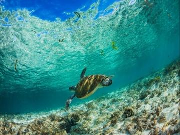 シュノーケリング中に優雅に泳ぐウミガメに遭遇!