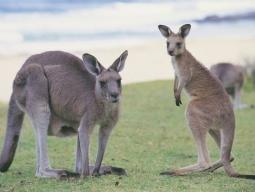 オーストラリア固有の動物