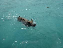 『飛べないブタはただのブタ』  じゃあ、『泳げるブタはど...