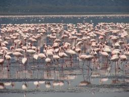 ケニア2大国立公園☆フラミンゴの楽園ナクル湖&野生動物の宝庫マサイマラ周遊7日間