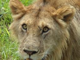 人気のムパタサファリクラブに宿泊☆マサイマラへはフライト利用♪フラミンゴの楽園ナクル湖&野生動物の宝庫マサイマラ 7日間