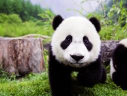 四川省でかわいいパンダの飼育ボランティア体験!うれしいパンダ3大保護区を周遊3泊4日間